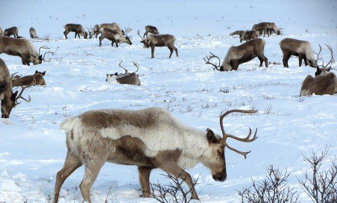 Las poblaciones de reno en el Ártico se desmoronan - reindeer-2524817_1920_image671_405