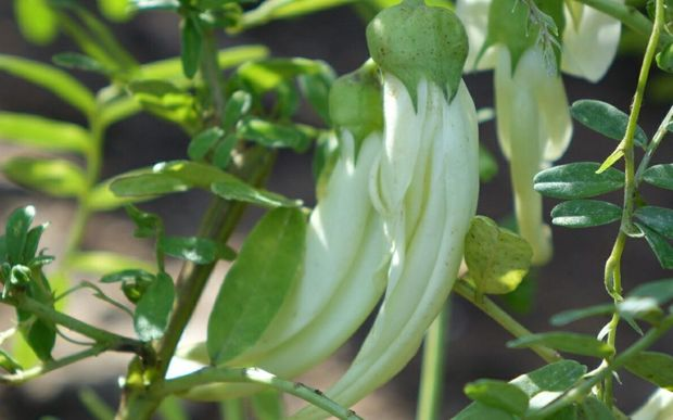 The white-flowered ngutukākā