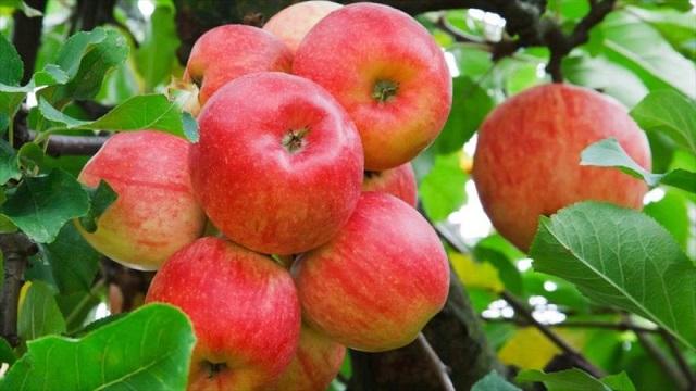Manzanas para Rosh Hashaná