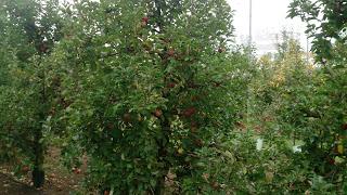 petik epal sydney