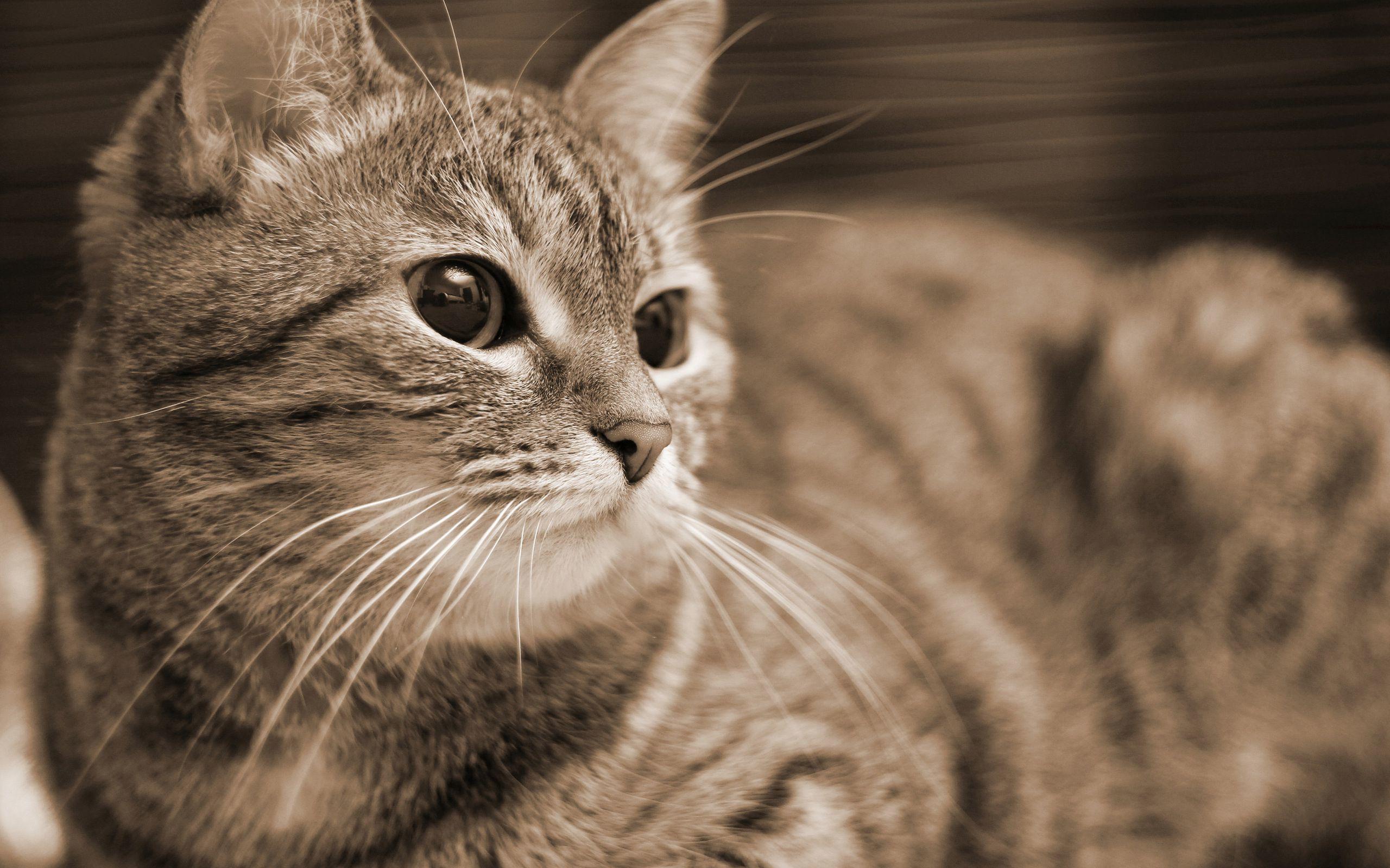 tabby-cat-resting-2560x1600-animal-desktop-wallpaper-27910