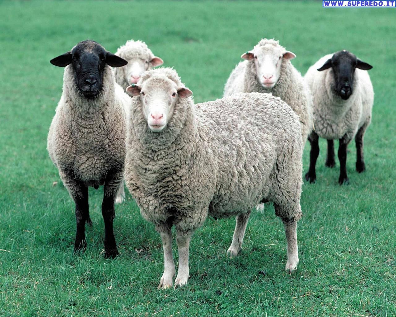 pecore_5