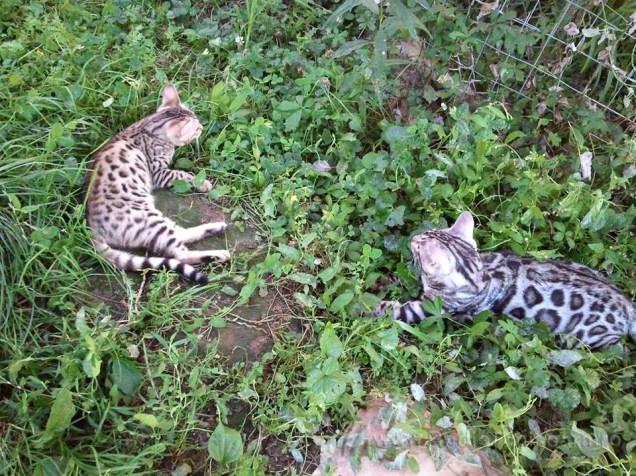 pisica bengaleza 12