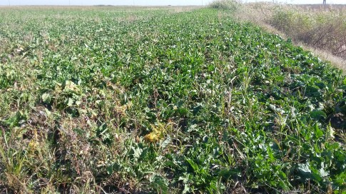 cultivator sfecla de zahar (3)
