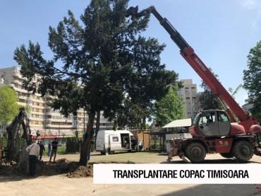 transplantare copac Timisoara 1