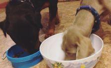 Traffic out of LA was brutal but at least sis' fur babies made it! #rottweiler #weimaraner #dogsofinstagram [instagram]
