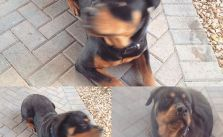 H was purposely ignoring me during his timeout earlier this morning. Lol. #rottweiler #dogsofinstagram [instagram]