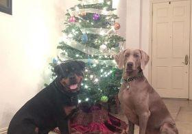 Happy Christmas from H & K. #dogsofinsta #weimaraner #rottweiler #weimaraner_feature #rottweilersofinstagram #weimaranersofinstagram #dogaunt [instagram]