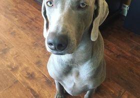 """Kingston the Skeptic""  #weimaraner #dogsofinstagram #weimaraner_feature #latergram [instagram]"