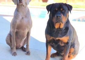 Their royal highnesses Princes Kingston Frumpy-Bumps Weimar Kemp & Hendrix von Wasser Kemp aka my bougy dog nephews. [instagram]