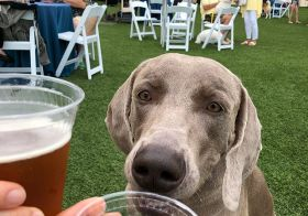 Enjoying a Chateau D'Og Cab & Blueberry beer at Yappy Hour with Kingston @hendrixandkingston [instagram]