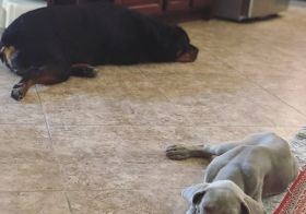 The little guy is taking a liking to Hendrix & is imitating some of his big cousin's way of sleeping on the floor with one hind leg sticking out 🤣 #Weimaraner #rottweiler [instagram]
