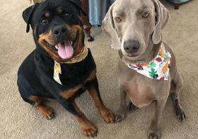 I'm going to miss these puppybois  Sterling will miss his cousins, too… #byebois #rottweiler #weimaraner #dogsofinstagram [instagram]