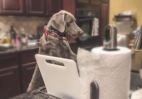 7 months old and already doing chores 🤣 #weimaraner #puppychronicles #dishwashingdog #weimcrime #dogsoflasvegas [instagram]
