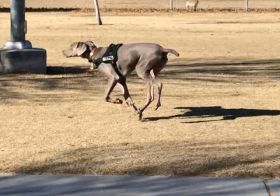 "My boi. He turns 7 months tomorroz (December 29th) and has been great with recall at the dog park! In this instance, @sterlingd.weim went to say ""hi"" to the Great Dane and then returned to where I was supposed to be waiting… He didn't know that I was close by. Obvs he found me when I called his name 🤗 #puppychronicles #weimaraner #weimlove #dogsofinstagram [instagram]"