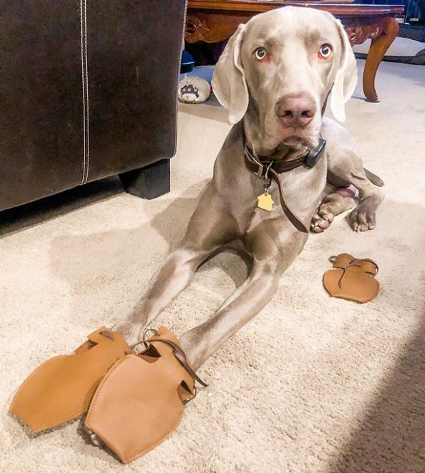 I got a two pairs of @dogmocs1 for @sterlingd.weim and I'm just getting him used to the smell and sensation because when I tried to put it on him last night, he didn't care for me to hold his paws  We'll eventually get there. In the meantime, at least I got the correct size. #dogmocassins #dogshoes #weimaraner #weimsofinstagram