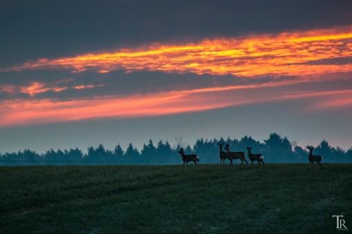 Rehe zum Sonnenaufgang