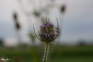 Blüte der wilden karde