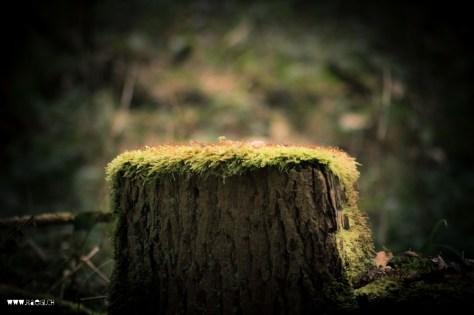 Alter Baumstrunk im Wald