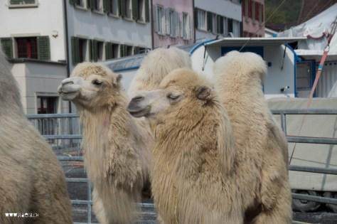 Kamele auf dem Zaunplatz