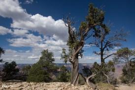 Grand Canyon Pinyon Pine