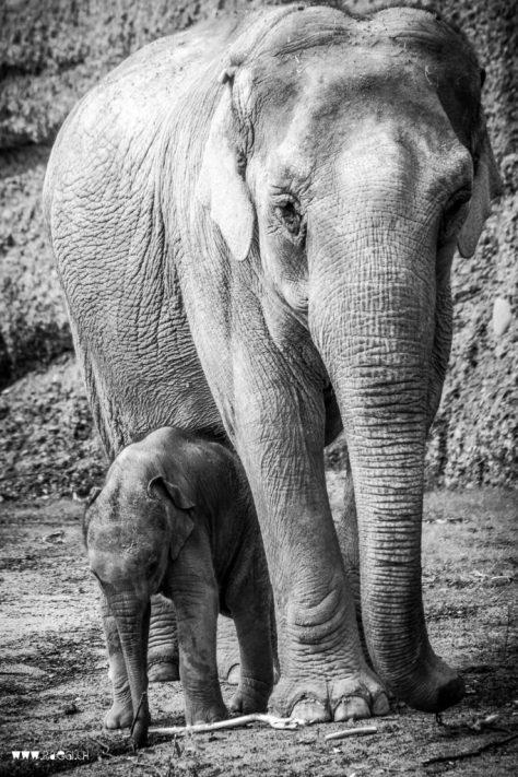 Das kleine Elefäntli im Zürcher Zoo, Omysha