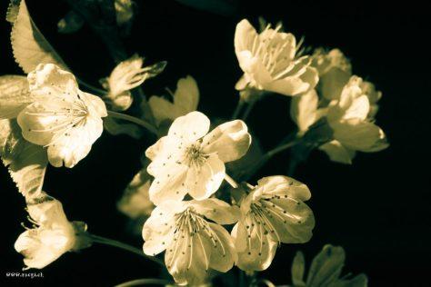 Kirsch Blüten