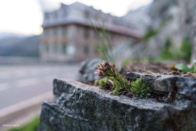 Blumen am Furkapass