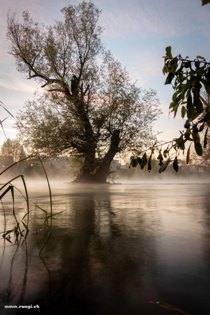 Baum in der Limmat bei Nebel