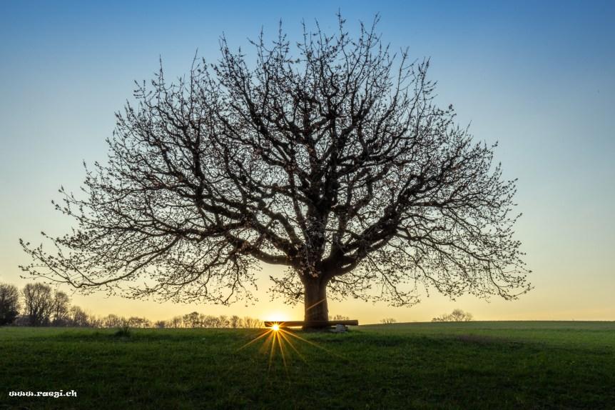 Sonnenstern unter einer Bank bei einem Kirschbaum im Fricktal