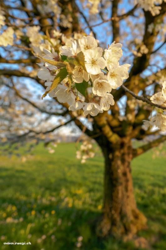 Kirschbaumblüten
