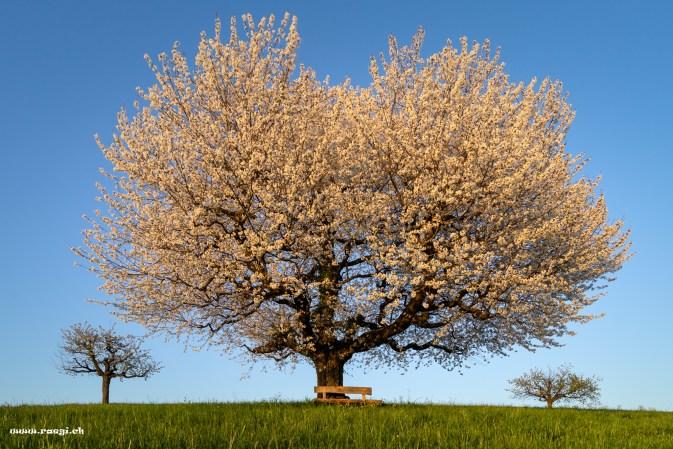 Wunderschöner Kirschbaum im Abendlicht