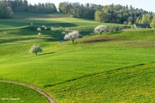 Landschaft mit Kirschbäumen