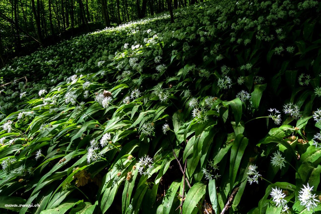 leuchtender frühlingswald