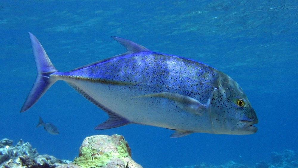 Ricciola, la Regina Azzurra del mare. Una ricetta chic!