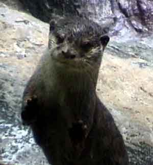 A picture named Otter-1.jpg