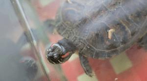 Lin Li Turtle