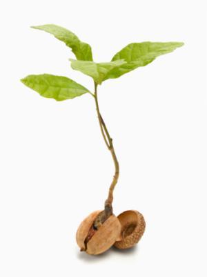 Oak growing from acorn