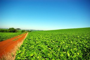 Soybean plantation in Rio Grande do Sul, Brazil, photo by Tiago Fioreze/Wikimedia Creative Commons License.
