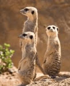 Meercats surveiling