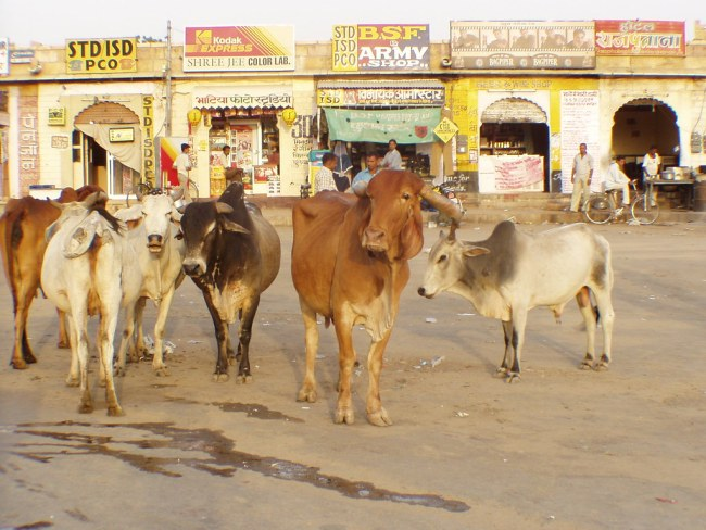 Holy Cows in Jaisalmer