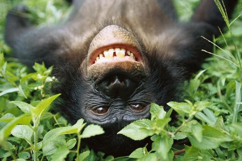 bonobo smiling by Cyril Ruoso