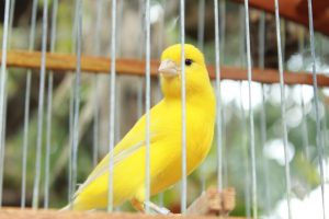 a yellow canary sitting in a cage referencing the canary in the coal mine signaling the presence of toxic danger by its own demise - demonstrates an intelligent way to assess toxicity & call for a balancing