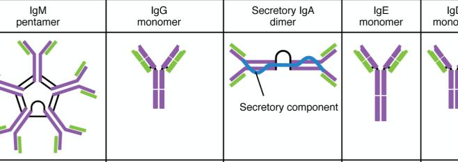 Antibody Response May Drive COVID-19 Outcomes