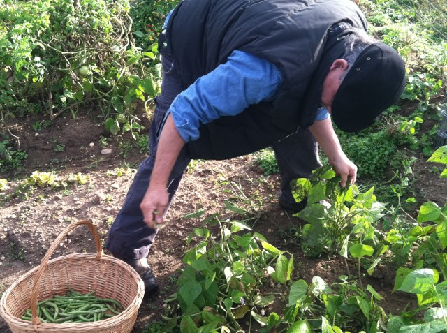 Harvesting green beans on the Raíces Micro Farm.