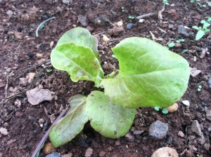 Lettuce, September 2012, Livingston, Piscataway