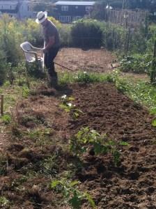 Fuyo prepping soil, September 2012, East Brunswick