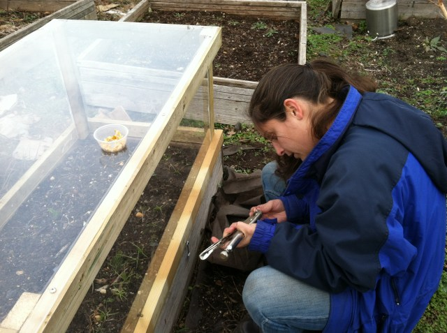 Coldframe/Mini-Greenhouse made from recycled and reused materials being installed at the Raíces Eco-Culture Micro Farm.