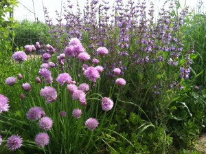 Flowering Chives and Sage