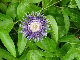 Passiflora edulis L.